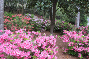 Azaleas at The Masters
